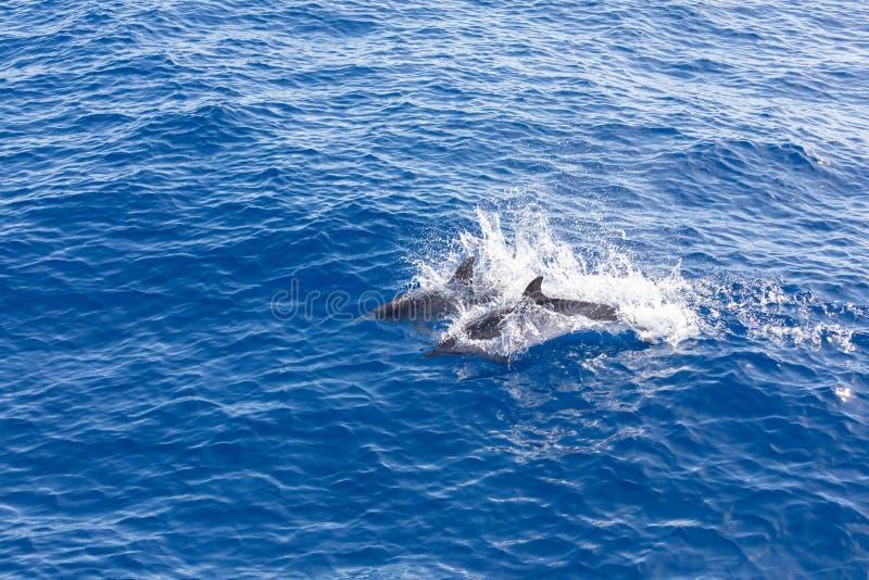Golfinhos da família que nadam no oceano azul em Tenerife, Espanha foto de stock