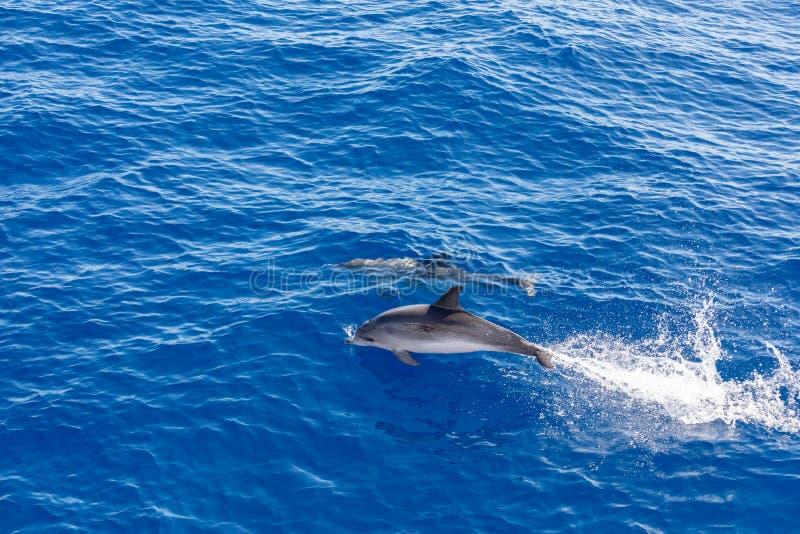 Golfinhos da família que nadam no oceano azul em Tenerife, Espanha fotos de stock