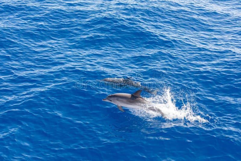 Golfinhos da família que nadam no oceano azul em Tenerife, Espanha imagens de stock