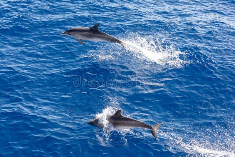 Golfinhos da família que nadam no oceano azul em Tenerife, Espanha fotografia de stock