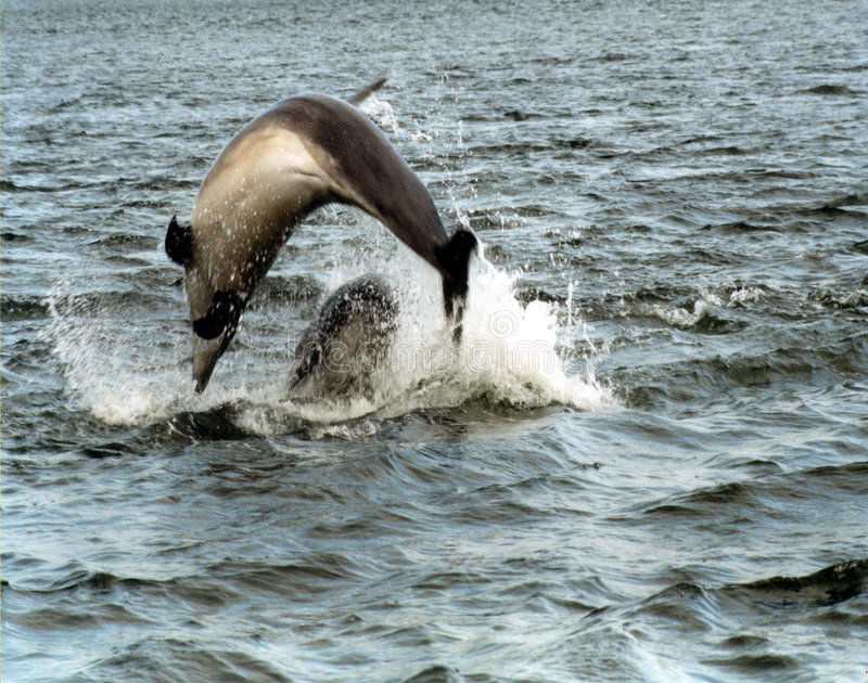 Golfinhos de Bottlenose foto de stock royalty free