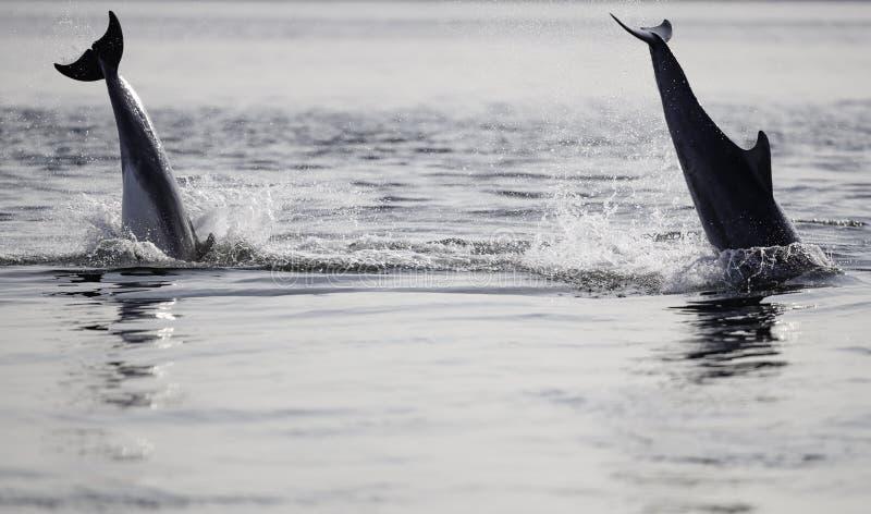 Golfinhos de bottlenose selvagens imagens de stock