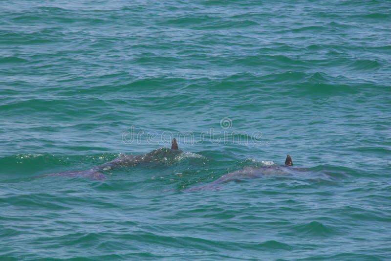 Golfinhos de Florida fotos de stock