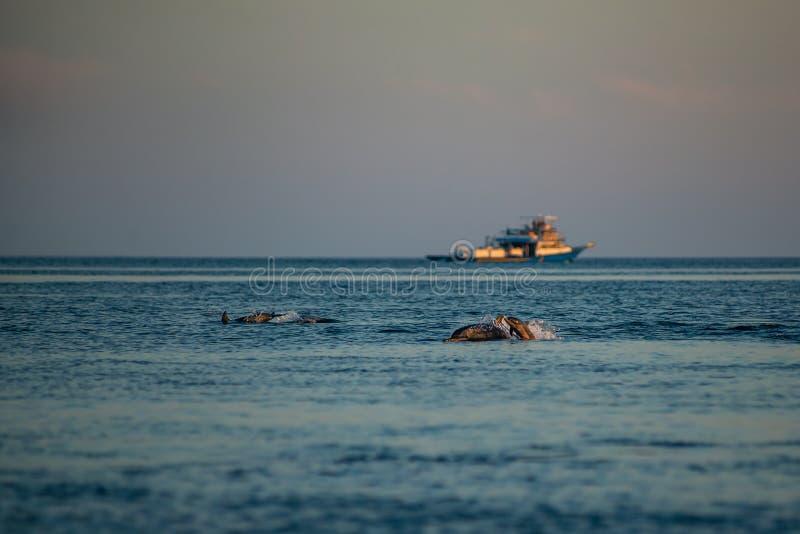 Golfinhos de observação no por do sol ou no nascer do sol, golfinhos no Oceano Índico fotos de stock royalty free