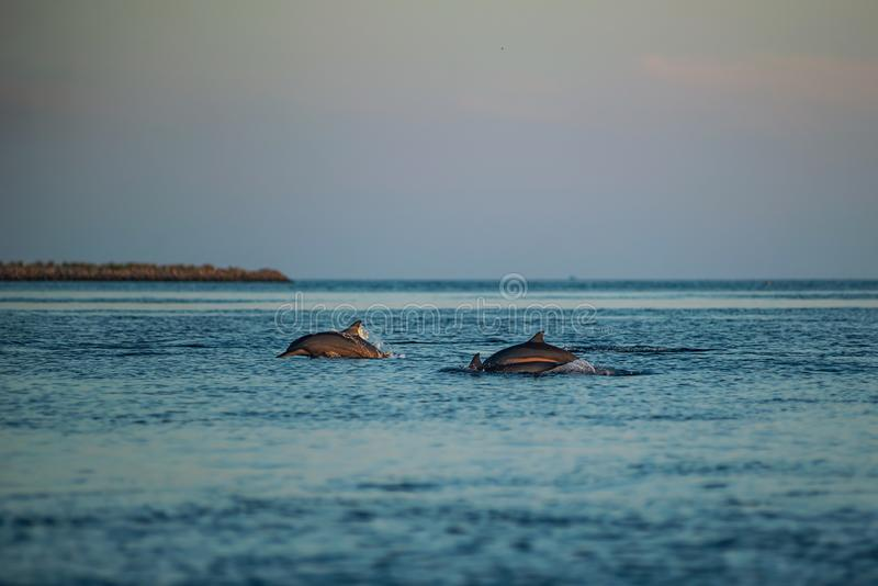 Golfinhos de observação no por do sol ou no nascer do sol, golfinhos no Oceano Índico imagem de stock royalty free