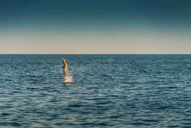 Golfinhos de observação no por do sol ou no nascer do sol, golfinhos no Oceano Índico fotos de stock