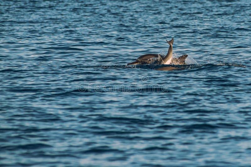 Golfinhos de observação no por do sol ou no nascer do sol, golfinhos no Oceano Índico imagens de stock