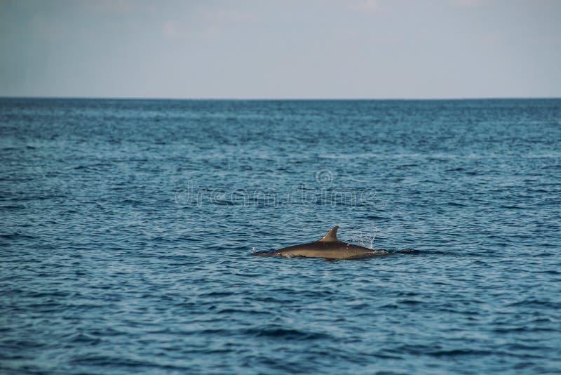 Golfinhos de observação no por do sol ou no nascer do sol, golfinhos no Oceano Índico foto de stock royalty free