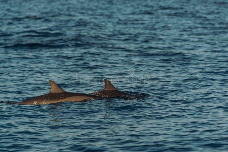 Golfinhos de observação no por do sol ou no nascer do sol, golfinhos no Oceano Índico fotografia de stock royalty free