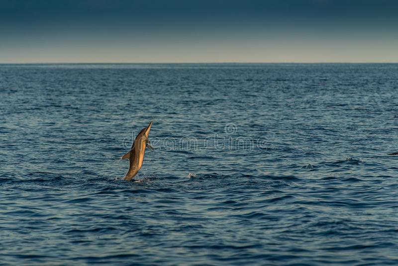 Golfinhos de observação no por do sol ou no nascer do sol, golfinhos no Oceano Índico imagens de stock royalty free