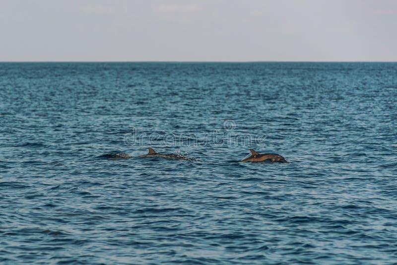 Golfinhos de observação no por do sol ou no nascer do sol, golfinhos no Oceano Índico fotografia de stock