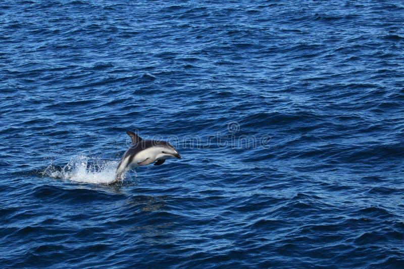 Golfinhos de Puerto Madryn em Argentina fotografia de stock
