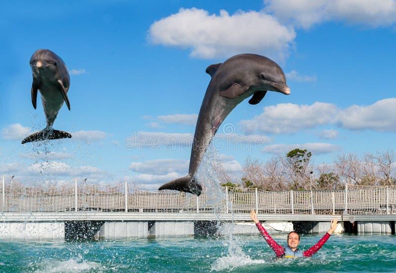 Golfinhos de salto Natação da mulher com os golfinhos na água azul fotos de stock royalty free