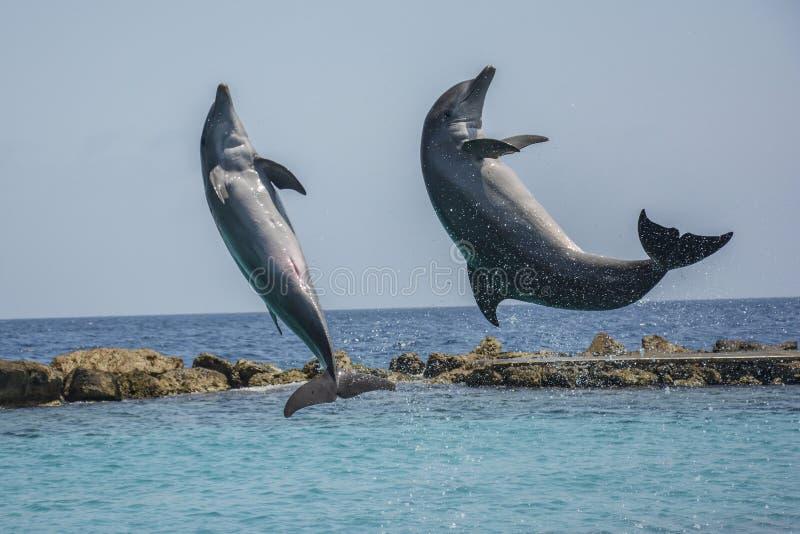 Golfinhos de salto no mar das caraíbas - Curaçau, as Caraíbas holandesas imagens de stock
