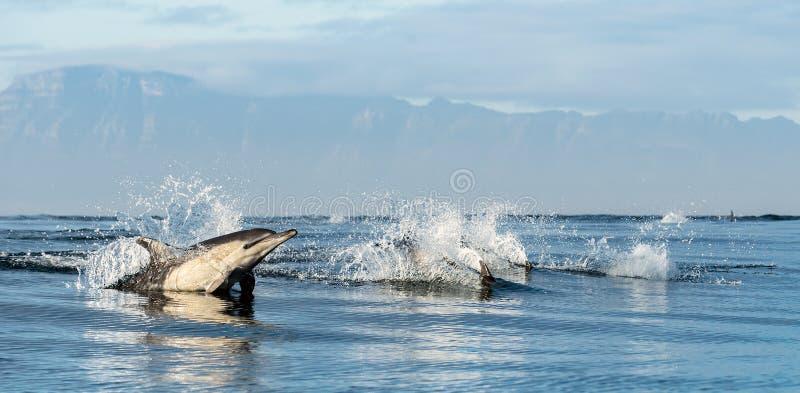 Golfinhos de salto no oceano imagens de stock royalty free