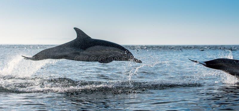 Golfinhos de salto no oceano fotografia de stock royalty free