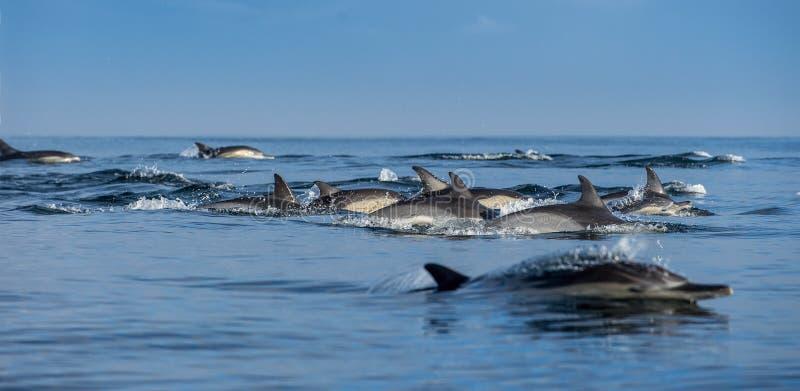 Golfinhos de salto no oceano foto de stock