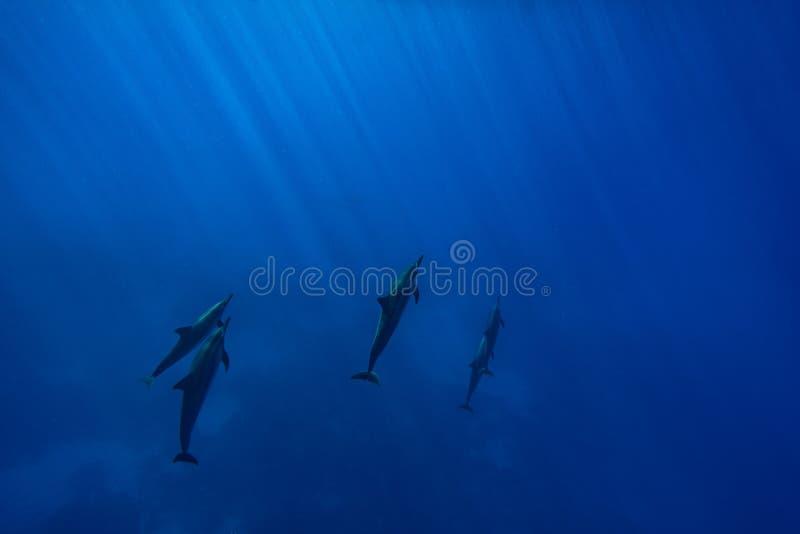 Golfinhos do girador fotos de stock royalty free