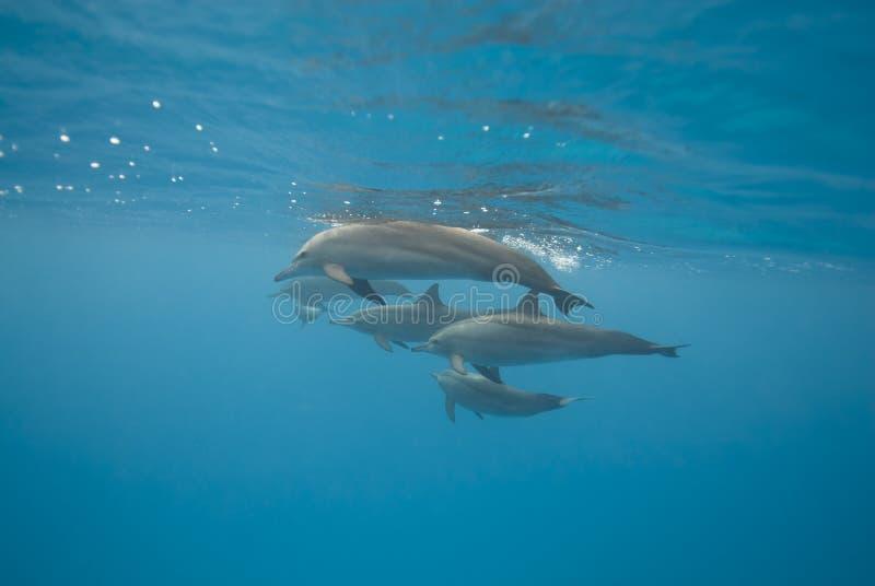 Golfinhos do girador da natação no selvagem. fotografia de stock royalty free
