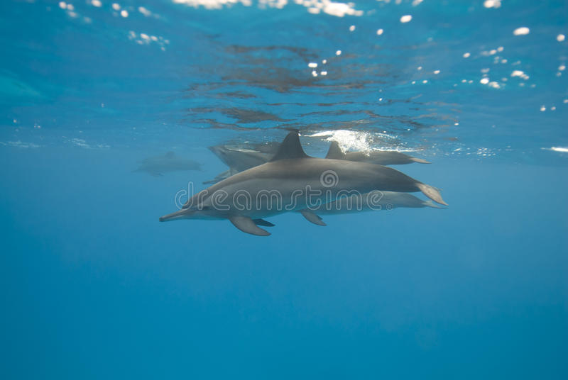 Golfinhos do girador no selvagem. foto de stock