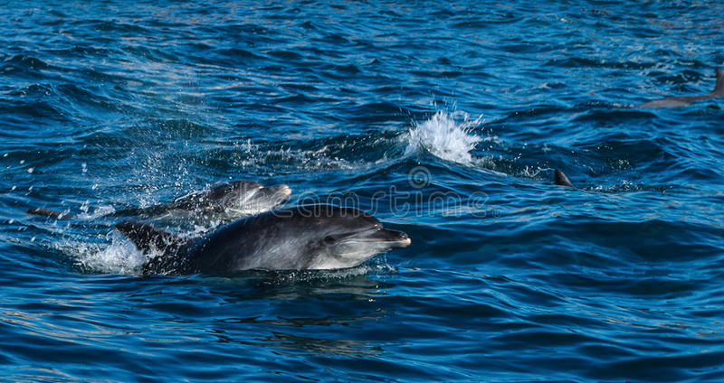golfinhos Garrafa-cheirados na baía de Algoa, Port Elizabeth imagens de stock