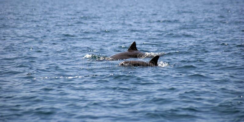 golfinhos Garrafa-cheirados, Zanzibar, Tanzânia imagem de stock royalty free