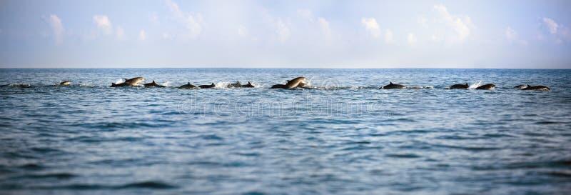 Golfinhos na natação azul aberta do mar fotografia de stock