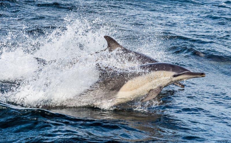 Golfinhos, nadando no oceano foto de stock