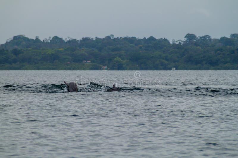 Golfinhos no arquipélago de Toro do del de Bocas, Pana foto de stock royalty free