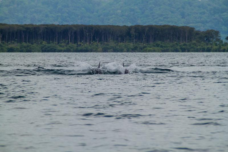 Golfinhos no arquipélago de Toro do del de Bocas, Pana imagens de stock royalty free