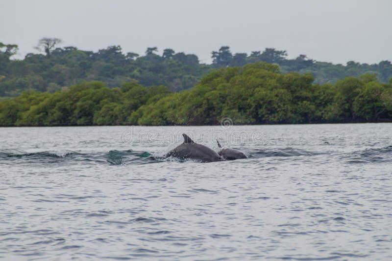 Golfinhos no arquipélago de Toro do del de Bocas, Pana fotografia de stock