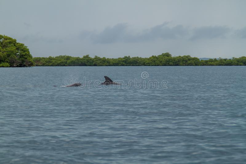 Golfinhos no arquipélago de Toro do del de Bocas, Pana imagem de stock
