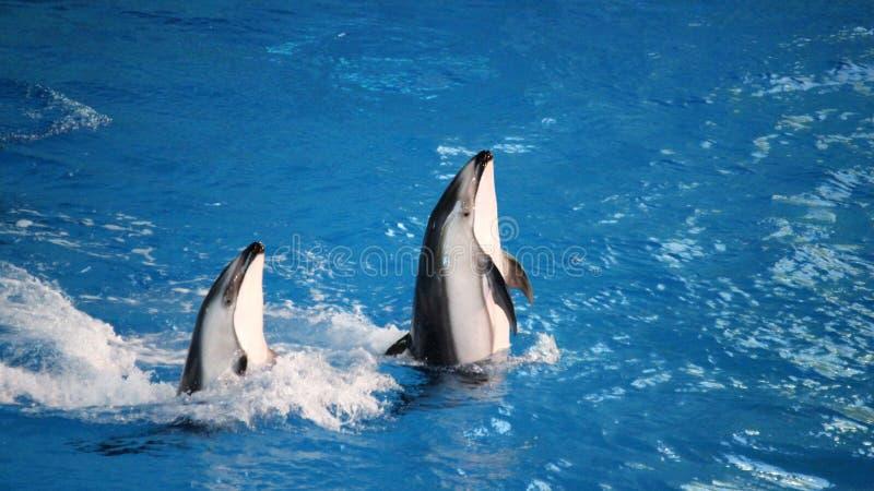 Golfinhos no jogo fotos de stock