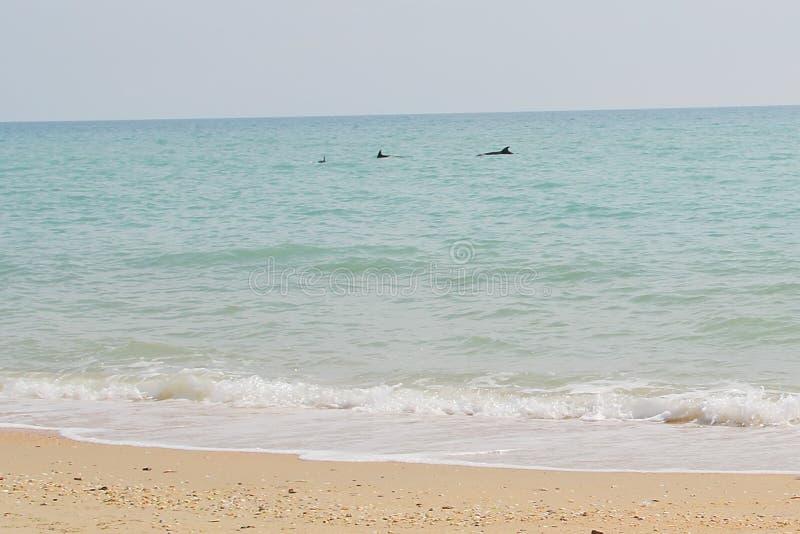 Golfinhos no mar perto da costa foto de stock