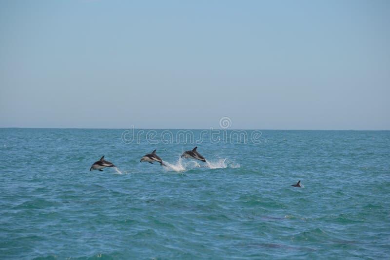 Golfinhos obscuros em Kaikoura, Nova Zelândia fotografia de stock