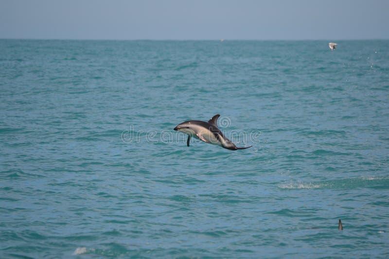 Golfinhos obscuros em Kaikoura, Nova Zelândia foto de stock