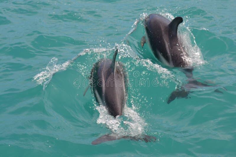 Golfinhos obscuros em Kaikoura, Nova Zelândia imagens de stock