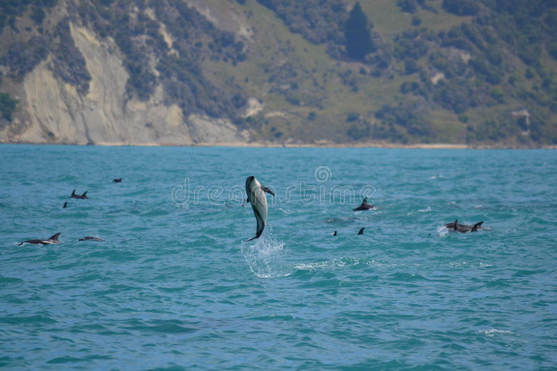 Golfinhos obscuros em Kaikoura, Nova Zelândia foto de stock royalty free