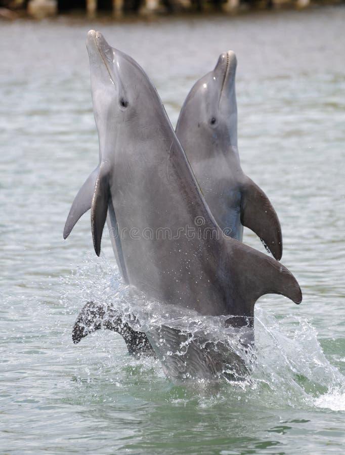 Golfinhos que andam nas caudas imagens de stock royalty free