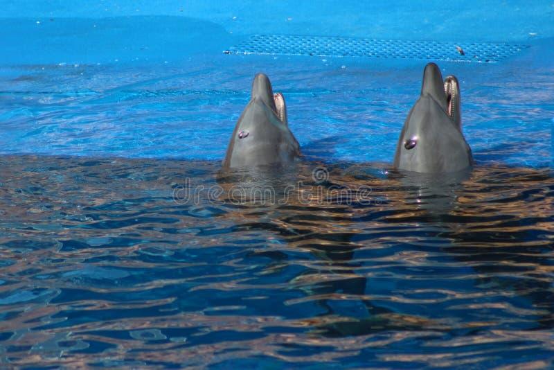 Golfinhos que emergem foto de stock