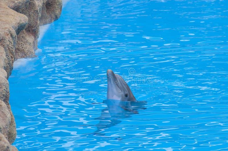 Golfinhos que nadam fotos de stock