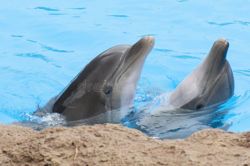 Golfinhos que nadam fotografia de stock royalty free