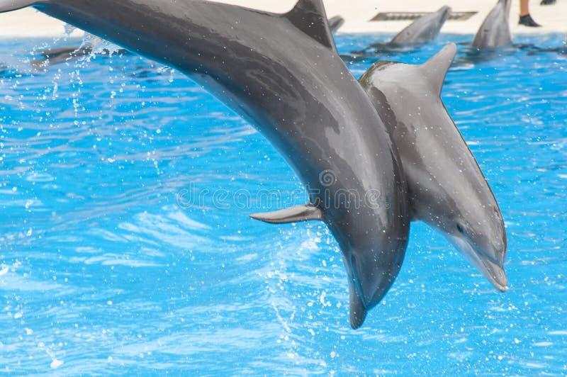Golfinhos que nadam fotografia de stock