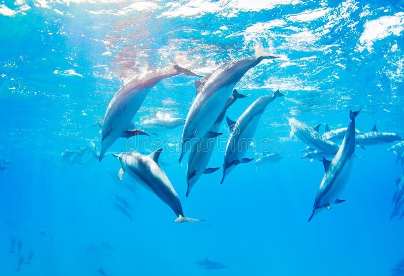 Golfinhos que nadam debaixo d'água fotografia de stock