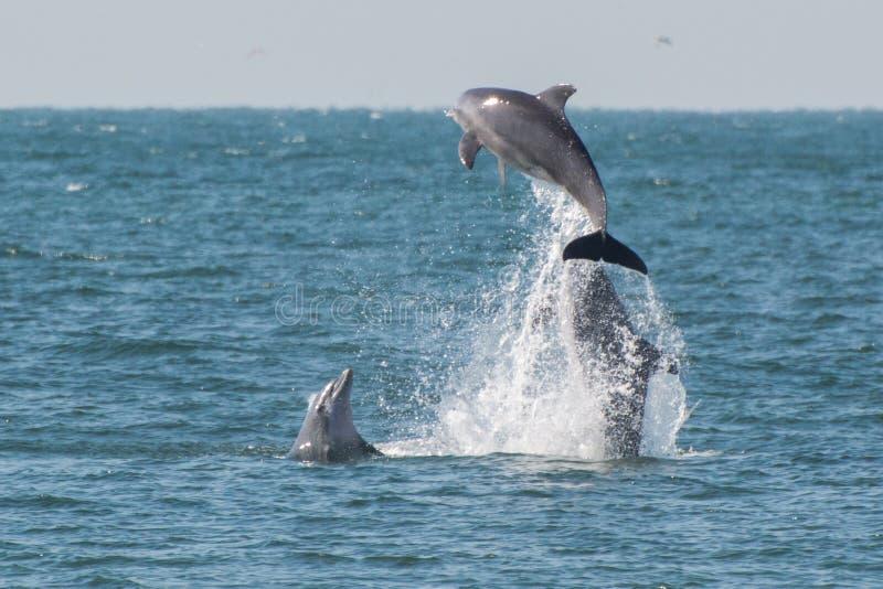 Golfinhos que pulam da água foto de stock
