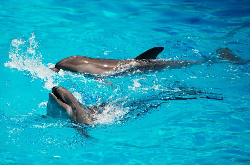 Golfinhos que têm o divertimento fotografia de stock