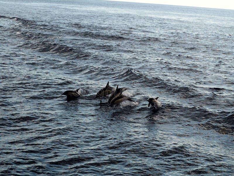 Golfinhos que voam através do ar imagem de stock
