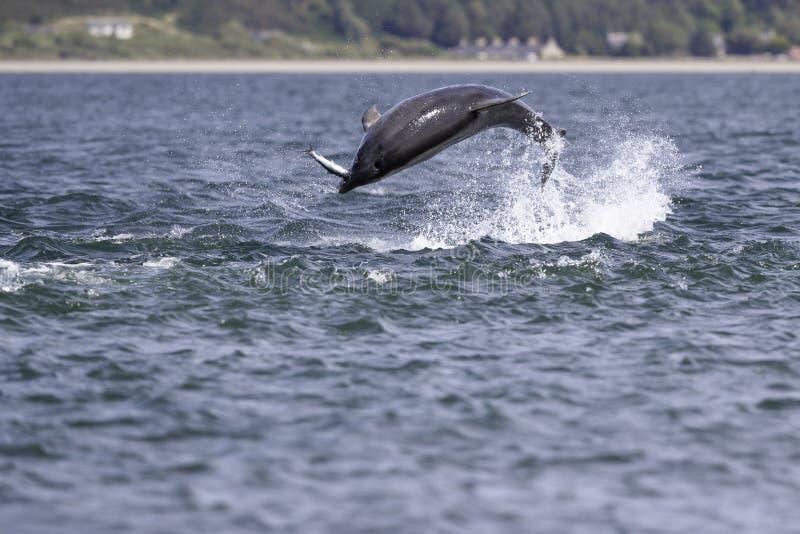 Golfinhos selvagens felizes, brincalhão foto de stock royalty free