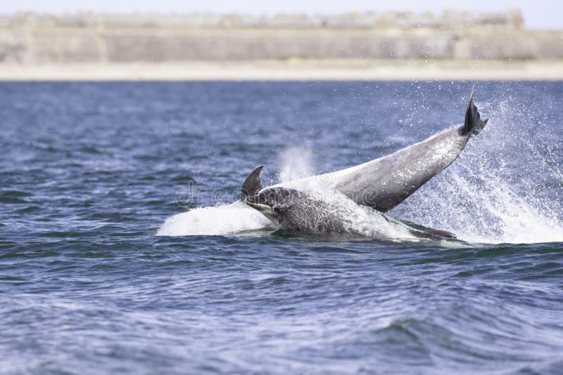 Golfinhos selvagens felizes, brincalhão fotos de stock royalty free