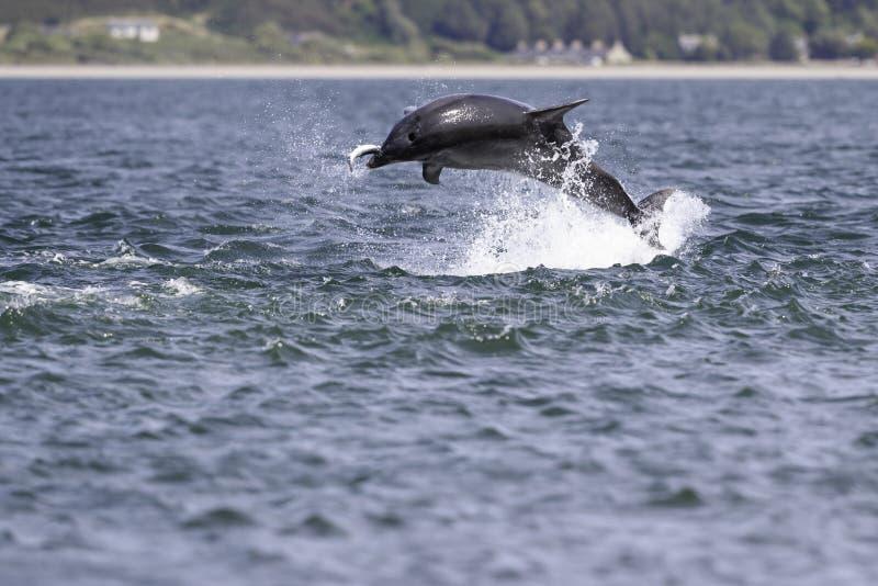 Golfinhos selvagens felizes, brincalhão imagem de stock